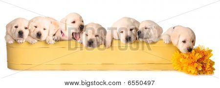 Eight Lab Puppies