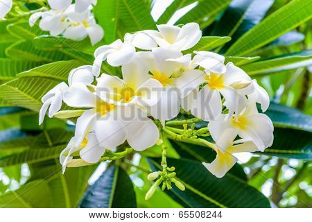 White Plumeria  Frangipani