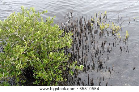 Black Mangrove Tree