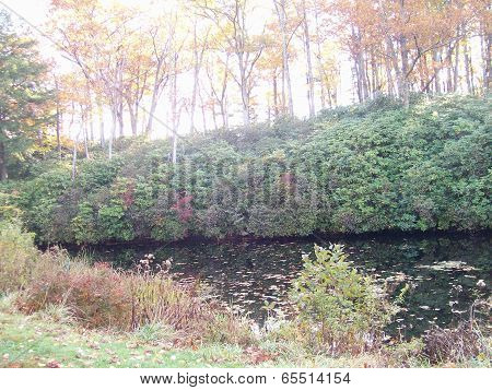 Birch Lined Bank