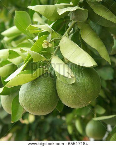 Green grapefruits