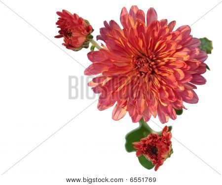 Rosa Chrysanthemum