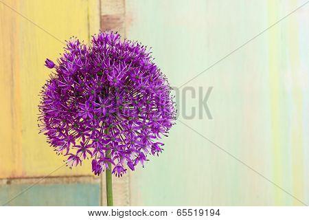 Allium Ornamental Onion Violet Showy Flower Head