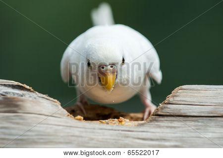 Feeding Budgerigar