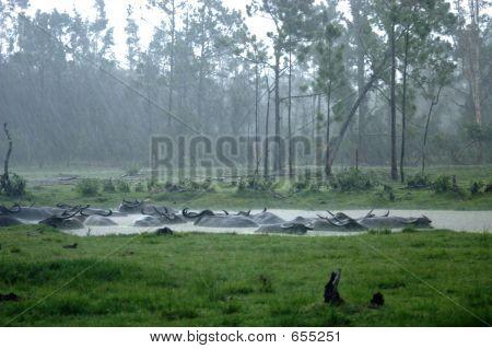 Asiatic Water Buffalo In Rain