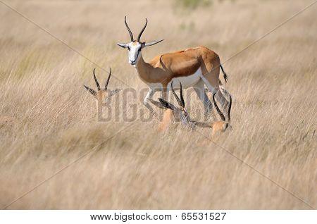 Springbok In The Etosha National Park