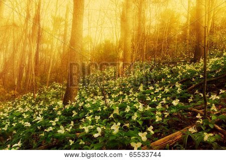 Trillium Bed In The Morning Mist