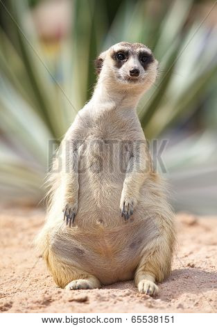 lonely meerkat sitting and lookout in nature