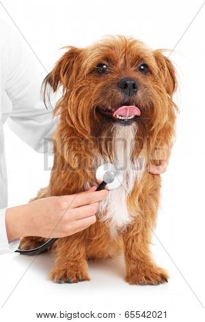 A picture of a terrier being examined by a vet over white background