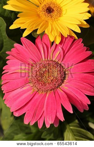 pink gerbera daisy with yellow one