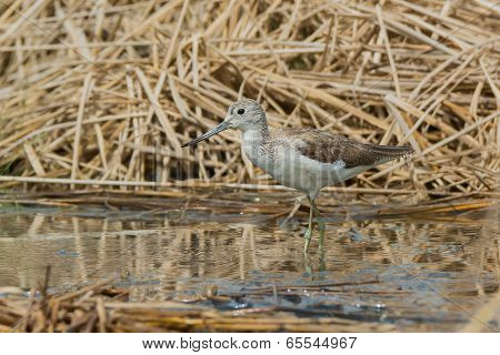 Common Greenshank (tringa Nebularia) Wading In A Pool With Dried Reeds