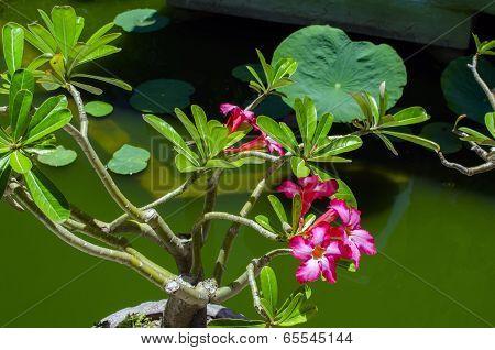 Adenium Flowering Plant.