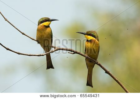 2 Little-bee Eaters (merops Pusillus) Surrounded By Tiny Flies
