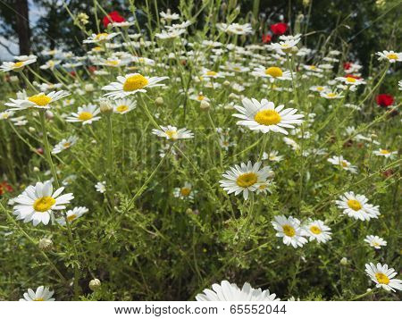 Meadow With Marguerite And Poppies