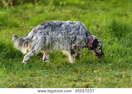 Cute Blue Belton English Setter Dog Is Sniffing On A Meadow