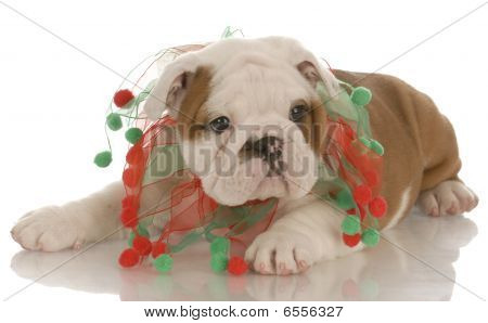 Bulldog Wearing Christmas Scarf