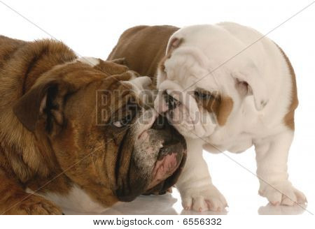 Bulldog Mom And Seven Week Old Pup