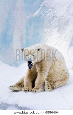 Tired Polar Bear Yawning
