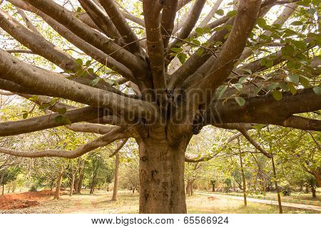 wide spread out branches from the central trunk of a banyan tree