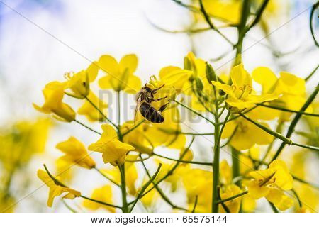 Close Up Of Yellow Canola Plant
