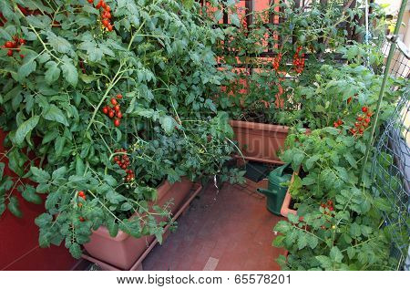 House With Many Plant And Red Ripe Tomatoes
