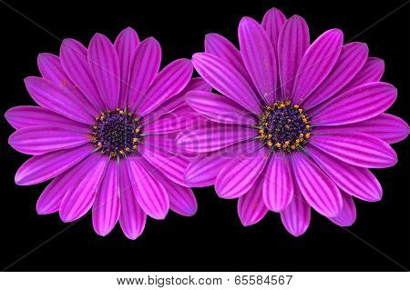 Asteraceae,purple daisies