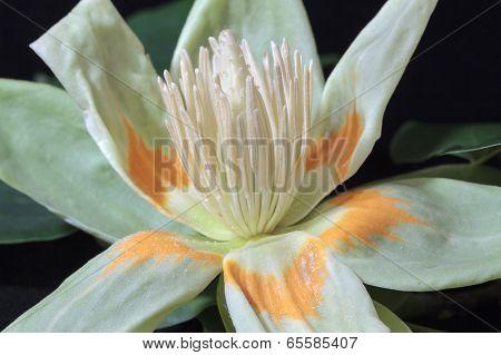 Tulip Tree Flower Pistils