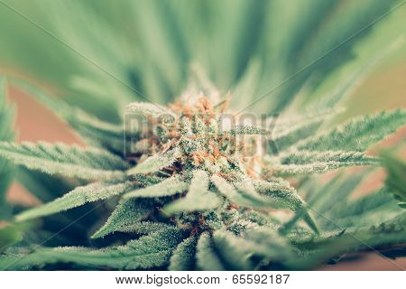 Cannabis Flowering