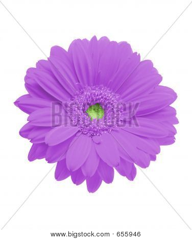 Isolated Purple Gerbera On Pure White Background