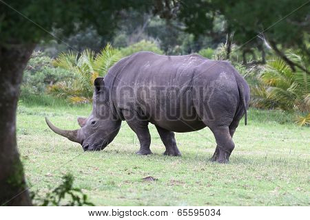 Large White Rhino