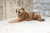 stock photo of herding dog  - Himalayan herding dog relaxing at Leh city street - JPG