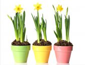 picture of plant pot  - Potted daffodils in three pretty pastel pots - JPG