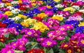 pic of primrose  - Central focus on a group of brightly colored Primroses - JPG