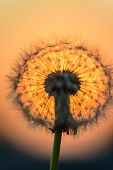 picture of blown-up  - blown dandelion flower against the setting sun - JPG