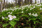 pic of trillium  - A wide angle photograph with a close up of a White Trillium in the foreground amidst a bed of hundreds of trilliums - JPG