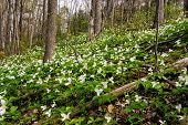 stock photo of trillium  - White Trilliums growing on a wooded Hillside - JPG