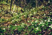 pic of trillium  - White Trilliums growing in a valley - JPG