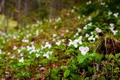 stock photo of trillium  - White Trilliums growing in a valley - JPG