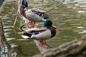 image of male mallard  - two male mallard  - JPG