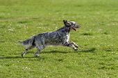 pic of english setter  - Cute blue belton English Setter dog is running fast cross on a spring flowering meadow - JPG