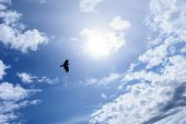 image of raven  - Lonely raven or crow in the blue sky as symbol of freedom - JPG