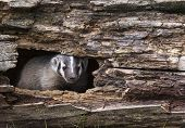 picture of badger  - Young American badger cub - JPG