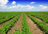 pic of soybeans  - Soybean Field Rows in summer - JPG