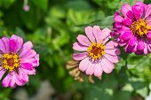 foto of zinnias  - Close up of pink zinnia (Zinnia violacae Cav.) flower, top view