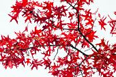 picture of unique landscape  - Red fall leaves texture on white background - JPG