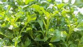 stock photo of nasturtium  - Group of fresh watercress  - JPG