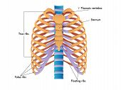stock photo of sternum  - medical illustration of the anatomy of the rib cage - JPG
