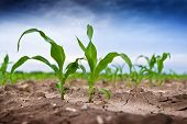 foto of early spring  - Young green corn in agricultural field in early spring selective focus - JPG