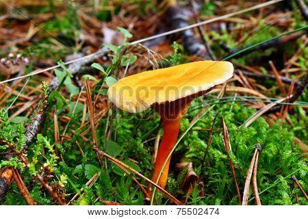 Mushroom False Chanterelle