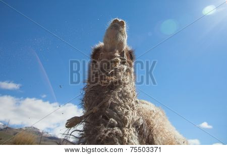 Bactrian Camel On A Background Of Blue Sky